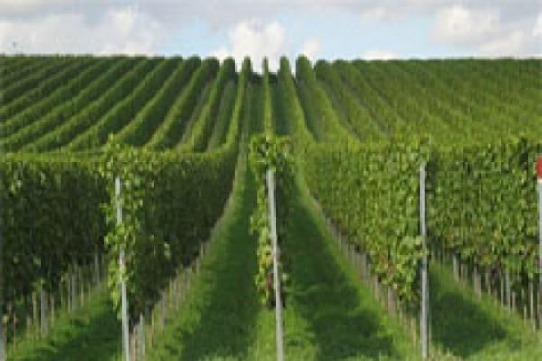 ღვინის ქარხნები ყურძენს არ ჩაიბარებენ
