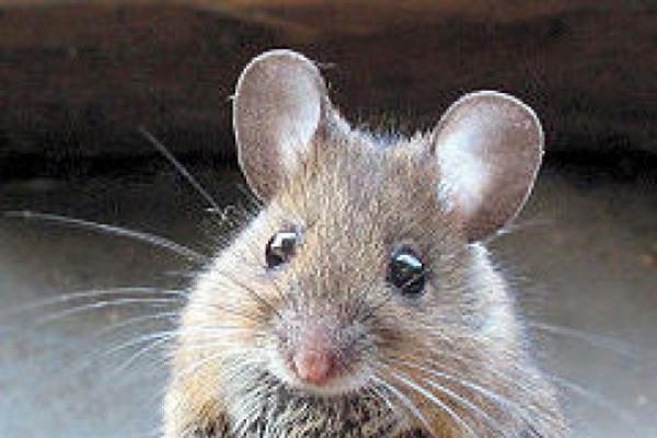 კახურ ხორბალს თაგვები იმკიან