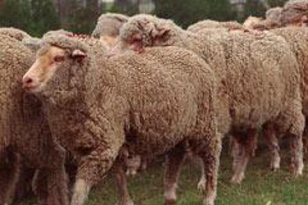 ცხვრის ხორცმა არნახულ ფასს მიაღწია