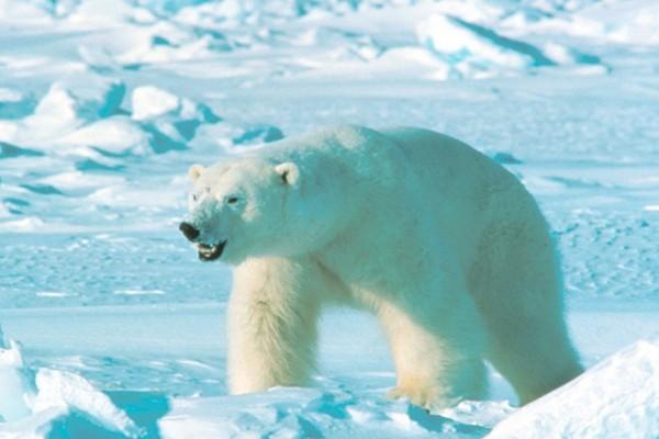 თეთრი დათვები ახალ მიწას დაესხნენ თავს - დასახლებულ პუნქტებში საგანგებო მდგომარეობაა გამოცხადებული