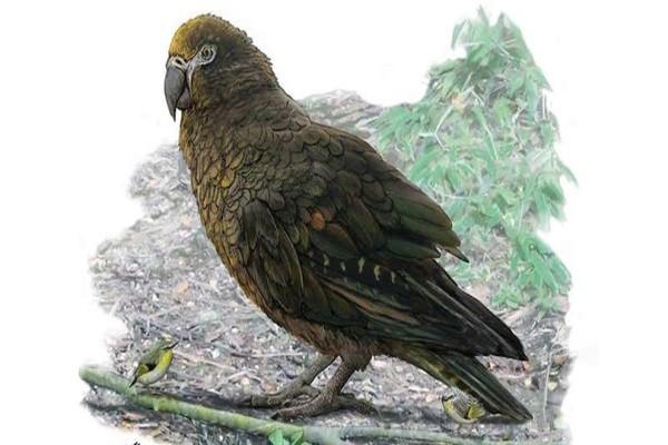ერთი მეტრის სიმაღლის თუთიყუში დედამიწაზე ცხოვრობდა — აღმოჩენა ახალ ზელანდიაში