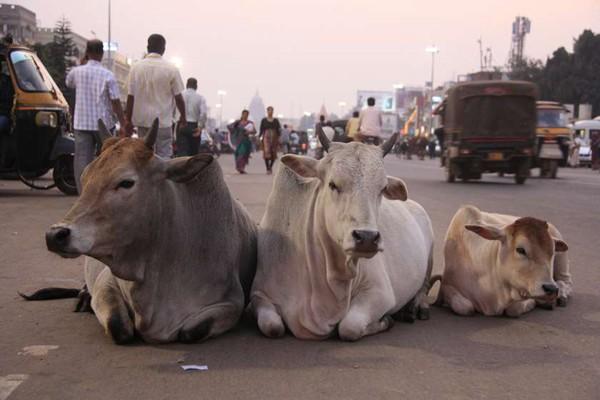 ინდოეთში კაცი ძროხის დაკვლის გამო ცემით მოკლეს