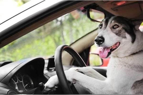 აშშ-ში დააკავეს კაცი, რომელიც თავის ძაღლს მანქანის ტარებას ასწავლიდა