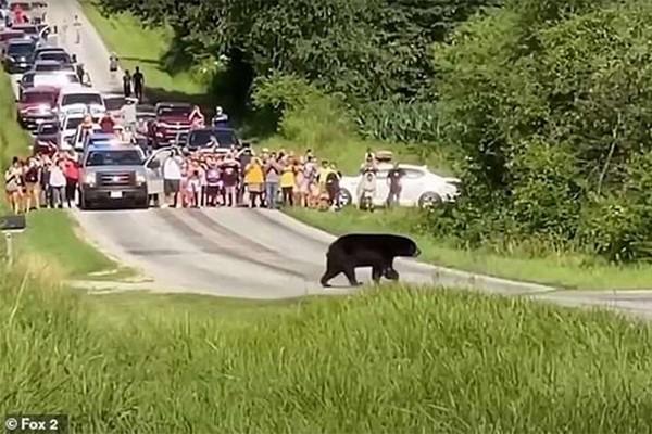 ამერიკელმა მურა დათვმა მდედრის ძიებაში 640 კილომეტრი გაიარა