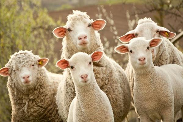 საქართველოდან ცხვარი საექსპორტოდ ირანშიც გადაყავთ