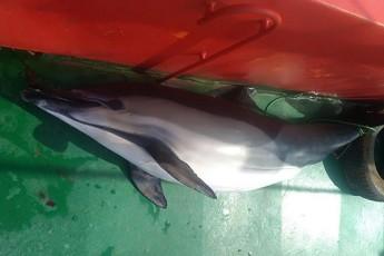delfinis-mokvlis-gamo-TurqeTis-droSis-qveS-mcuravis-gemis-kapitani-40-900-lariT-dajarimda