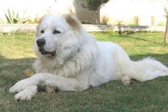Turqisa-da-kavkasiuri-nagazis-Serkineba