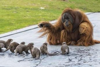 belgiis-zooparkSi-orangutangebi-da-wavebi-damegobrdnen