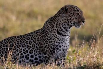 pakistanis-dedaqalaqis-erovnul-parkSi-leopardebi-gamoCndnen