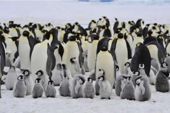 mecnierebma-antarqtidaze-pingvinebis-axali-koloniebi-aRmoaCines