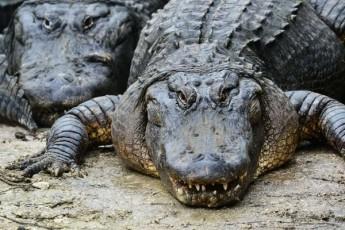 rio-de-JaneiroSi-aligatorma-policielebs-kacis-cxedari-mopara